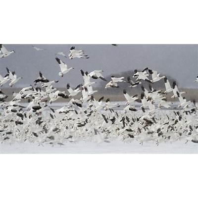 Bird of the Day: Snow Geese (Montezuma National Wildlife