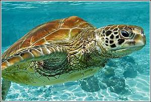 Green Sea Turtle Habitat Facts