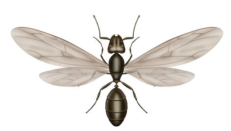 ant with wings carpenter ants vs termites what is the difference knockout pest control