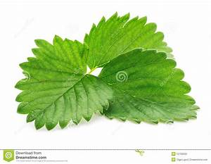 Single Green Strawberry Leaf Isolated On White Stock ...