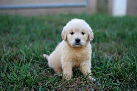 golden retriever puppy cost full price