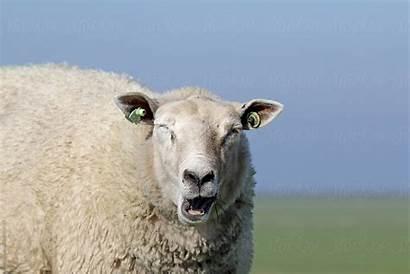 Sheep Funny Yawning Stocksy Marcel Yawn Mince