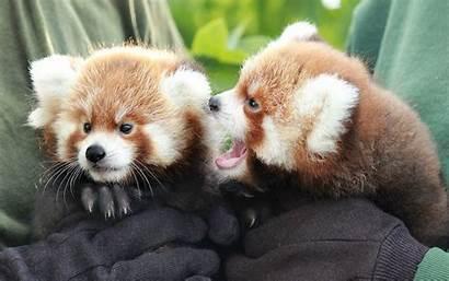 Animals Zoo Panda Adorable Born Cubs Rosamond