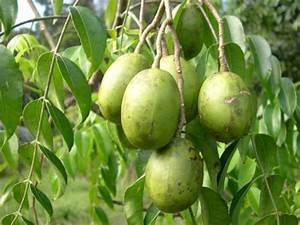 Buah Kedondong (Spondias dulcis) Some Malaysian Fruits