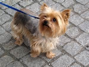 Do Yorkie Poos Shed by File Yorkshirsk 253 Teri 233 R Jpg Wikimedia Commons