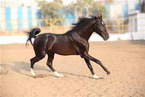 stallionsrevanta marwari horses