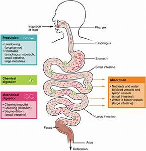 Anatomy  U0026 Physiology  Digestive System Processes And