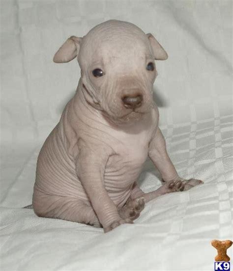 peruvian hairless dog images  pinterest dog