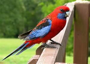 Crimson Rosella ~ Birds World