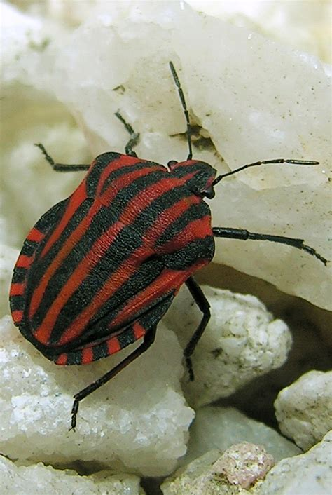 Bugs In by Note To Tripadvisor Bed Bugs Can Be Found In Clean