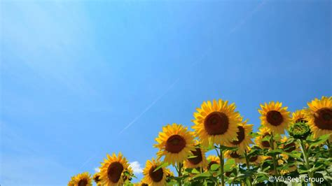 summer nature sound  japancicada shrilling min youtube
