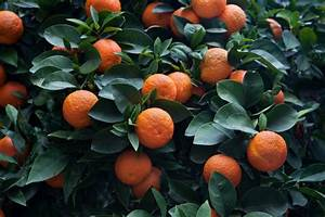 Bitter Orange Extract  Still Safe  Researcher Reasserts In New Review