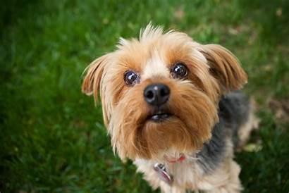 Breeds Dog Terrier Popular Yorkshire