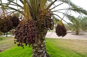 Date Palm Tree Fruit