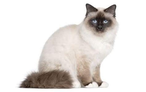 Top 23 Familyfriendly Cat Breeds Cattime