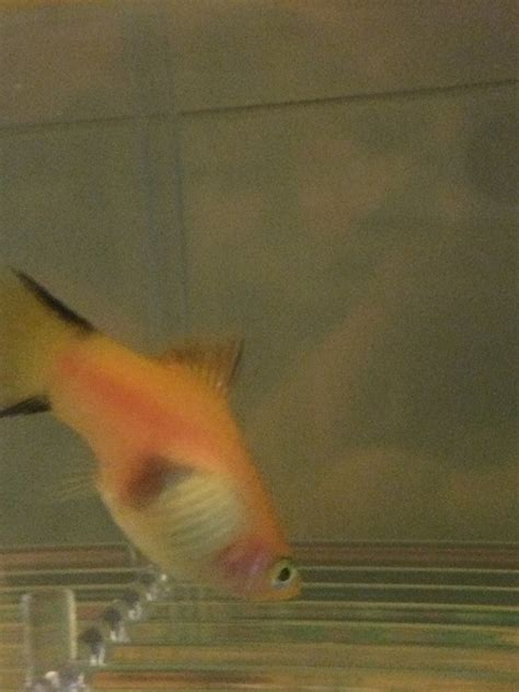 This Is My Pregnant Platy Do You Think She Will Give Birth ...