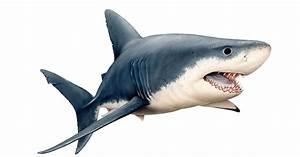 Ultimate Guide To Australian Sharks
