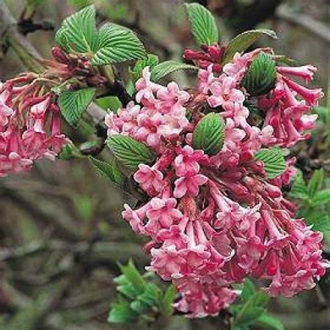 fragrant flowering bushes product not found
