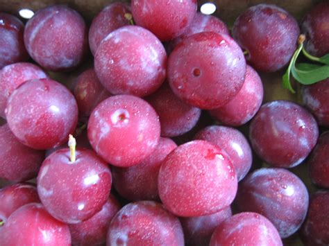 small purple plum michigan plum growers plum variety descriptions