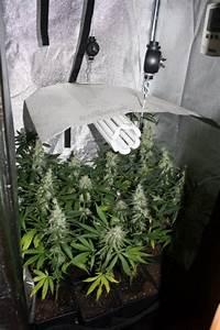 Cultiver du cannabis avec des lampes basses consommation for Mini chambre de culture cannabis