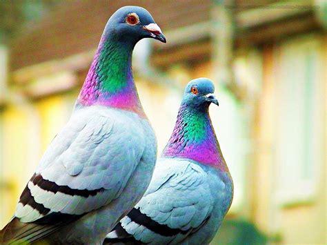 pigeons images pigeons hd wallpaper  background