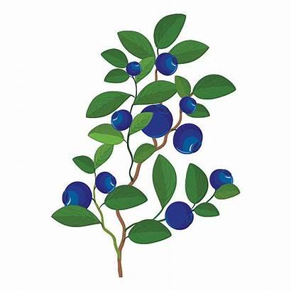 Bush Blueberry Blueberries Berry Clipart Plant Berries