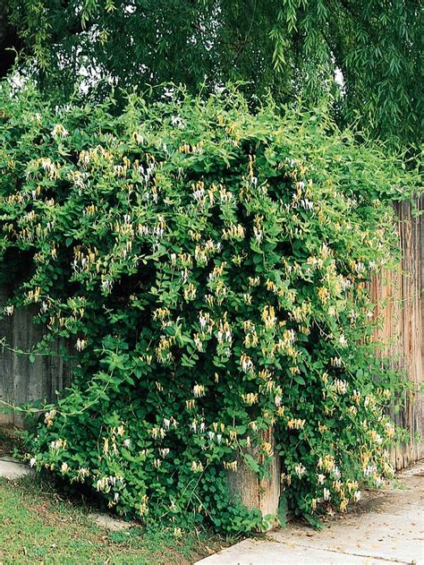 Top 10 Beautiful Climbing Plants For Fences And Walls