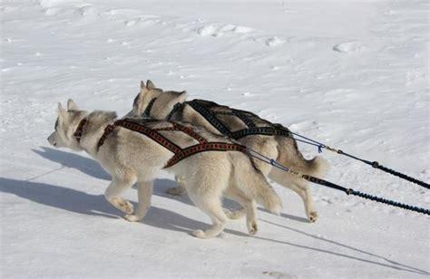 sleigh harness manmat x back sled harness