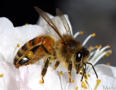 bee honey apis wild bees sp honeybee blossoms plum mean animal does dream dreams north american hymenoptera prunus americana spiders