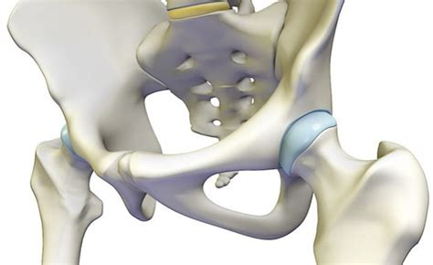 Hip Joint Anatomy, Hip Bones, Ligaments, Muscles