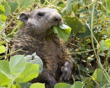 You can call them Alabama groundhogs but they're more