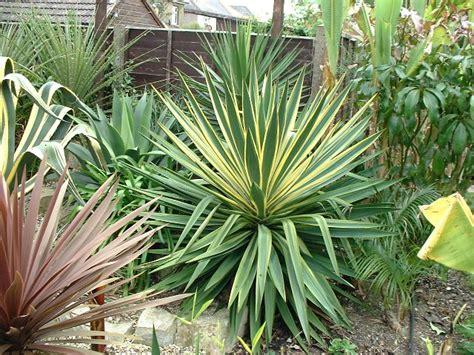 yucca plante interieur ou exterieur yucca exterieur 20 images vente d 39 233 pic 233 a de serbie picea omorika plantes et