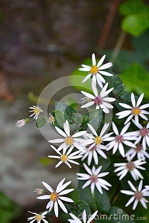 small white flowers yellow pink centers stock photo