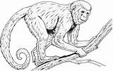 Monkey Coloring Pages Realistic Monkeys Printable Spider Adults Colouring Drawing Baboon Clipart Line Rainforest Faced Howler Primate Guenon Primates Drawings sketch template