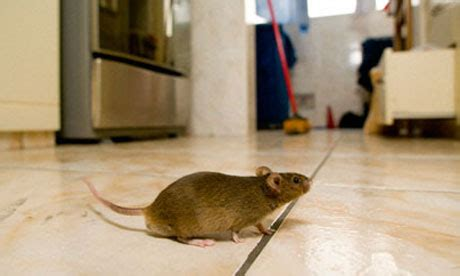 Mouse In Kitchen What To Do by How To Get Rid Of Mice From Your Kitchen