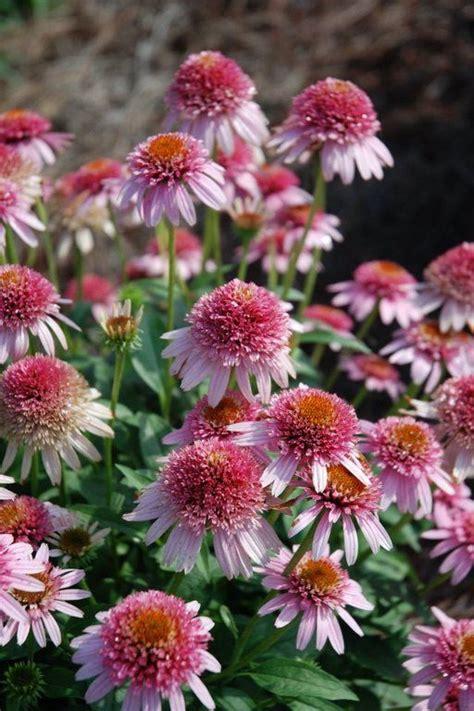 echinacea butterfly kisses pp 24458 plants nouveau garden plants and