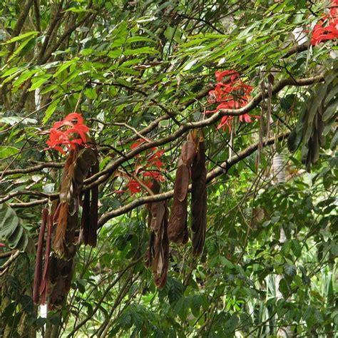 Muda da Rainha das Árvores - Safari Garden