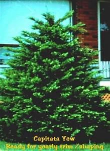 Yearly Home Maintenance Capitata Yew