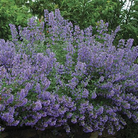cat mint how to plant a garden that will look like it s been there forever gardening tips for the santa