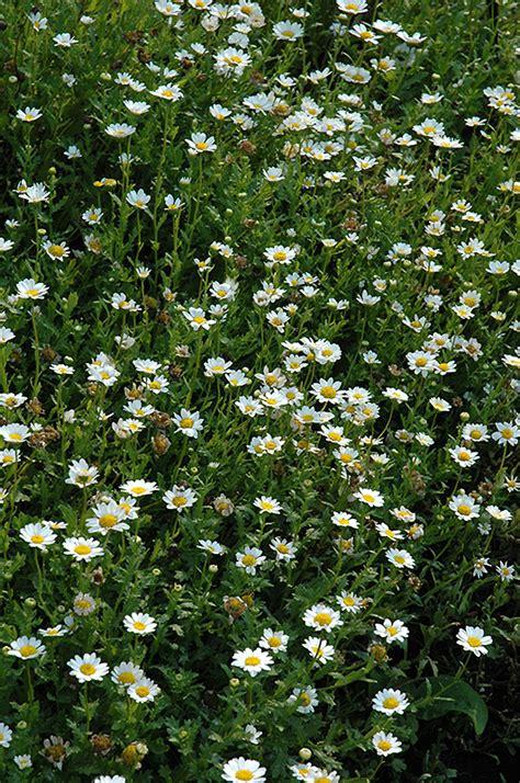 snowland chrysanthemum chrysanthemum paludosum snowland
