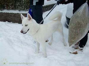 Stud Dog - siberian husky cross pure white with blue eyes ...
