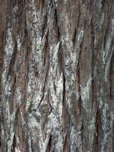 cypress tree bark cypress bark clippix etc educational photos for students and teachers