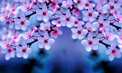 Cherry Blossoms Blossom Desktop Wallpapers Night Cave