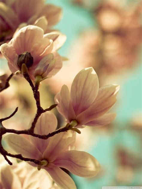 magnolia flowers  hd desktop wallpaper   ultra hd