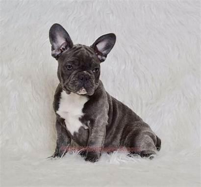 French Bulldog Chest Female Tuxedo Puppies Bulldogs