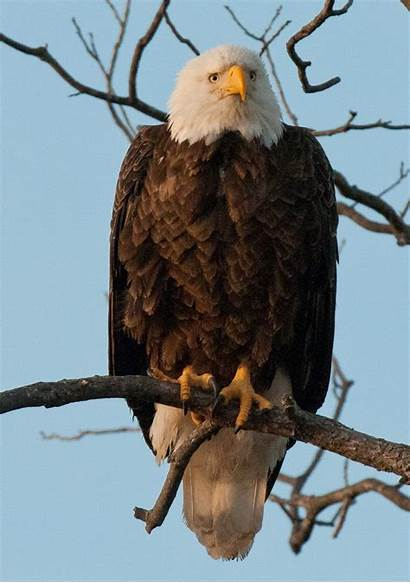 Eagles Bald Winter Hill Canyon Country Texas