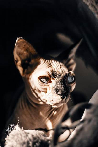 Sphynx Cat Iphone