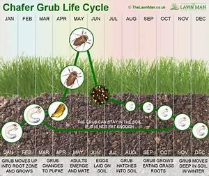 Chafer Grub Life Cycle Diagram