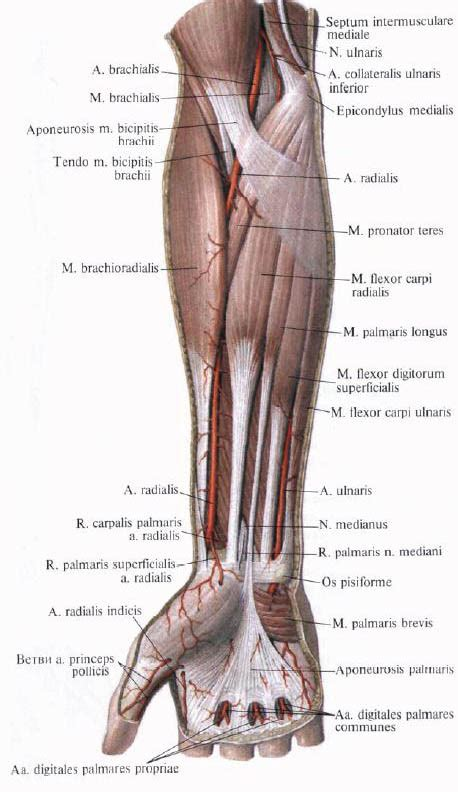 Forearm Surface Anatomy Veins