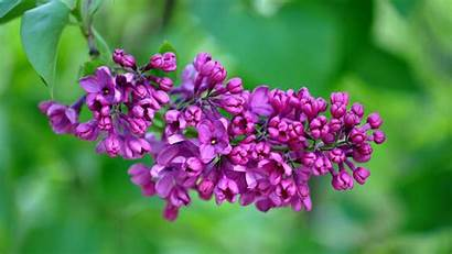 Resolution Lilac 4k Purple Wallpapers Flower Nature